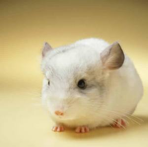 picture of very cute chinchilla
